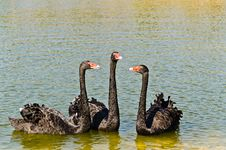 Free Black Swans In The Lake Stock Images - 22753584
