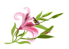 Free Pink Lily Royalty Free Stock Photos - 22755638
