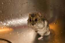 Free Wet Hamster Royalty Free Stock Image - 22755956