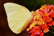 Free Orange Barred Sulfur,aka,Phoebis Philea Stock Image - 22758501