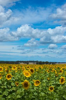 Free A Field Of Sunflowers Stock Photo - 22759720