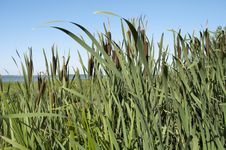 Free Cattail Thickets Stock Photos - 22766053