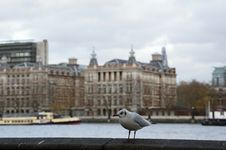 Seagull On Bank Of Thames Stock Photos