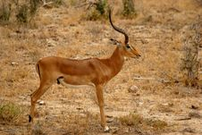 Free Impala Antelope Royalty Free Stock Photos - 22778428