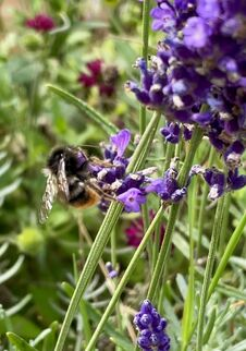 Bumblebee On Flower Lavender Blossom Close Up Outside Royalty Free Stock Images
