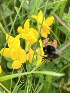 Bumblebee On Pea Flower Blossom Closeup Outside Stock Images