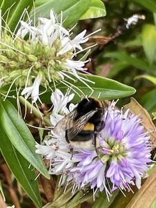 Bumblebee Single On  Flower Blossom Closeup Outside Stock Photos