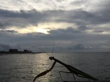Mantis During Sunrise After Rain In August At Coney Island In Brooklyn, New York, NY. Stock Image
