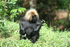 Free Black Monkeys Royalty Free Stock Image - 22782946