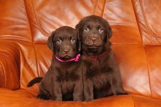 Free Portrait Of Two Cute Labrador Puppies Stock Photography - 22783582