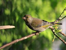 Free Green-finch Stock Photography - 22786312
