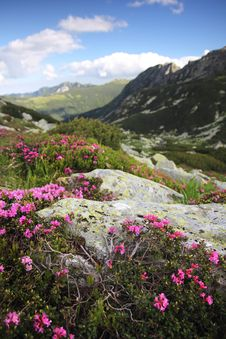Free Alpine Flowers - Wild Heath Growing Over Boulders Royalty Free Stock Photo - 22788095