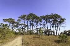 Free Pine Trees In The Forest. Stock Image - 22789811