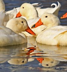 Free White Ducks In Water With Reflection Stock Photos - 22793093