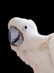 Free White Cockatoo Isolated Stock Images - 22796544