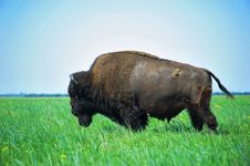 Free In The Steppe Bison Stock Photo - 22798090