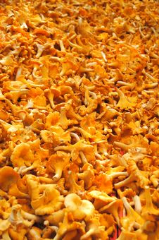 Free Yellow Chanterelles Mushrooms Royalty Free Stock Photo - 22798495