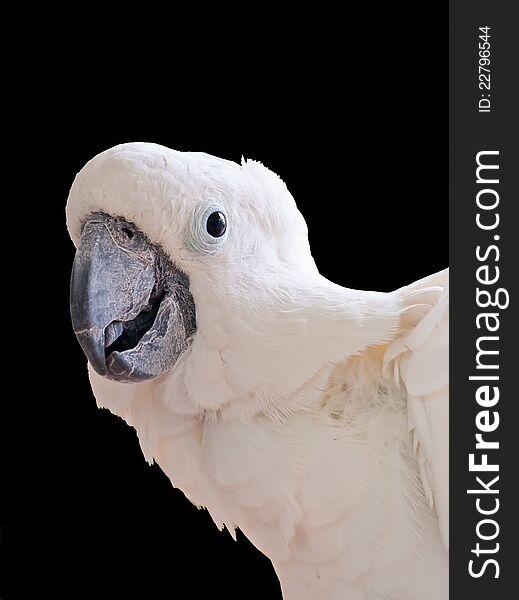 White Cockatoo isolated
