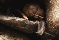 Helix Pomatia (or Roman Snail, Burgundy Snail) Crawling On Rocks And Looking Around Royalty Free Stock Image
