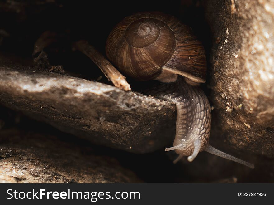 Helix pomatia (or Roman snail, Burgundy snail) crawling on rocks and looking around