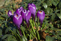 Free Violet Crocuses Stock Photos - 2282013