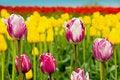 Free Tulip Mix Royalty Free Stock Image - 2287176