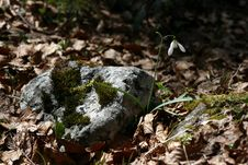 Free Snow Drop On A Rock Stock Photo - 2280110
