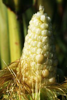 Free Corn Royalty Free Stock Photography - 2280157