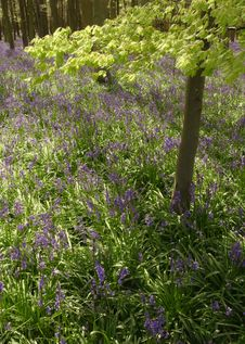 Free Bluebells Carpet Stock Photos - 2281493