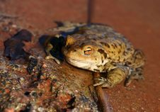 Free Toad Royalty Free Stock Photo - 2281695