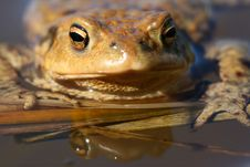Looking Frog Royalty Free Stock Photos
