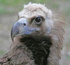 Eurasian Black Vulture 2