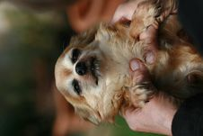Free Little Dog In Hands Stock Photo - 2282000