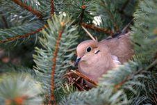 Morning Dove On Nest Stock Photo