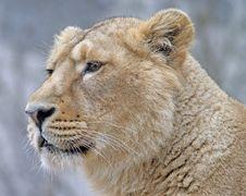 Free Lion 8 Stock Photos - 2282283