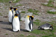 Free King Penguins In Relax Mode Royalty Free Stock Photography - 2282637