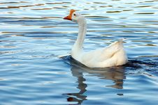 Free Goose Royalty Free Stock Image - 2283146