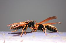 Free Two Wasps Stock Image - 2284081