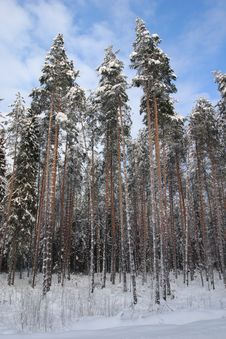 Free Snow Forest Stock Image - 2285121