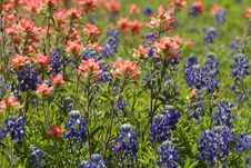 Free Bluebonnets And Paintbrushes Stock Images - 2285324