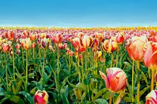 Free Morning Tulips Stock Photography - 2286072