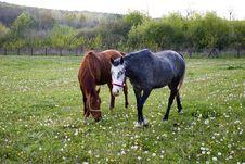 Free Two Horses Royalty Free Stock Photo - 2286425