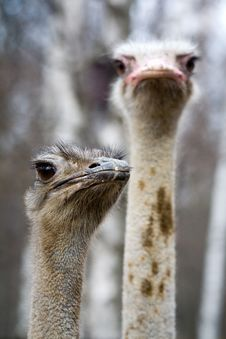 Free Two Ostriches Royalty Free Stock Photo - 2286575