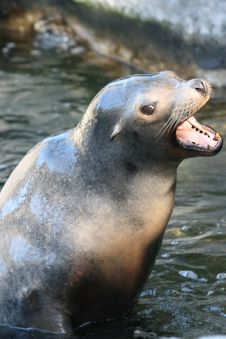 Free Sealion Royalty Free Stock Photography - 2286787