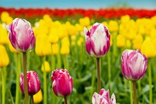 Free Tulip Mix Royalty Free Stock Image - 2287176