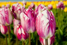 Free Tulip Mix Royalty Free Stock Photography - 2287247