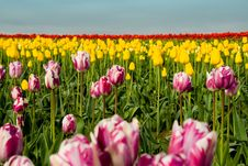 Free Endless Tulip Field Royalty Free Stock Photo - 2287265