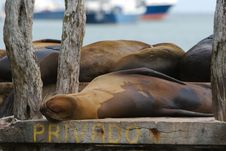 Free Sea Bears Royalty Free Stock Images - 2287809