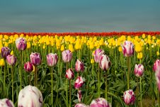 Free Endless Mixed Tulips Royalty Free Stock Images - 2288009