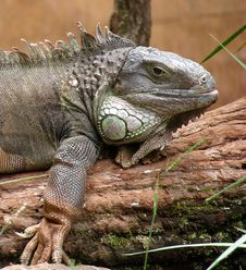Free Iguana Royalty Free Stock Photo - 2288085